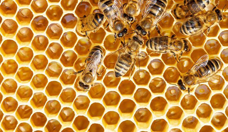 Bienen auf der Wabe - Der Bienenkorb